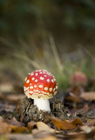 very young fly agaric on the forest floor