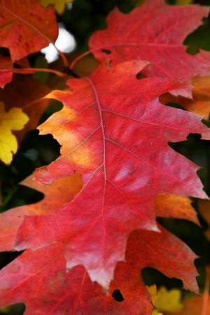 close up of some nice red autumn leaves Stock Photo