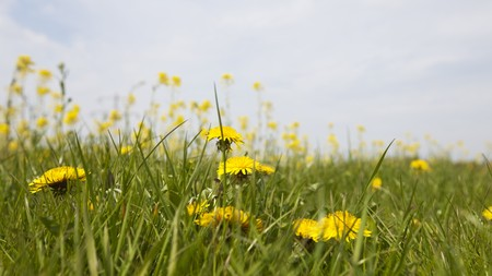close up of several dandelions from below between grass Stock Photo