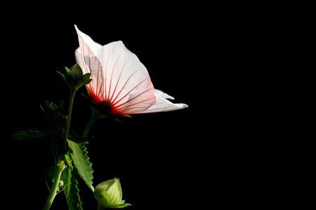 Native Hibiscus on dark background photo