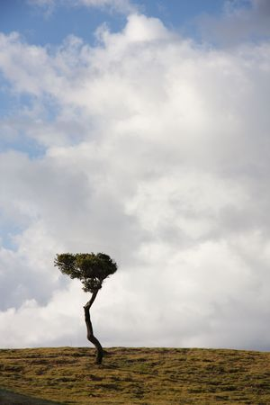 windswept: Windswept tree against cloudy sky on hilltop