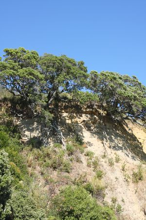 cling: Pohutukawa trees cling to cliff top in Auckland New Zealand