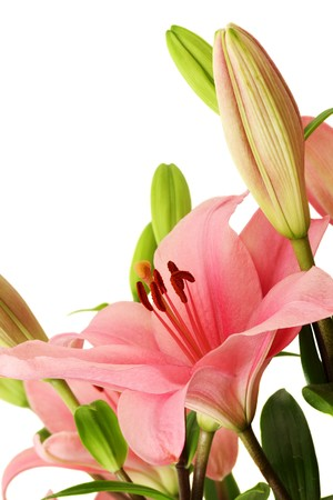 lilies: Closeup of pink lily blossom on white background