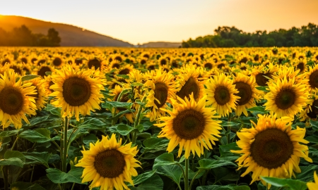 field sunset: Sunflower field in sunny summer day Stock Photo