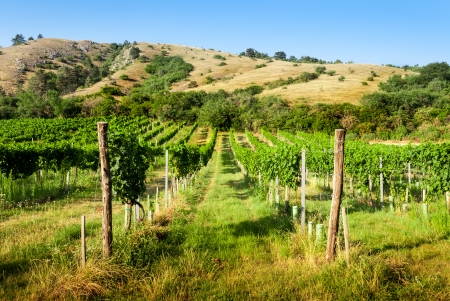 without clouds: vineyards under the hill at sunny day without clouds