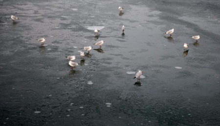 Gaggle of gulls walking on the frozen river photo