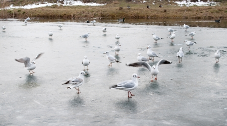 frozen river: Gaggle of gulls on the frozen river