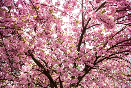 japanese tree with pink flowers photo