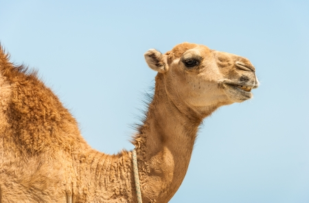 camel head with neck on blue background photo