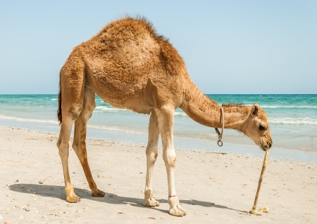 camel on the beach in Mahdia, Tunisia photo