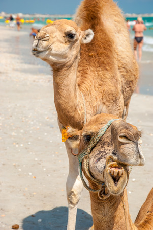Two Camels on the Beach as an Attraction photo