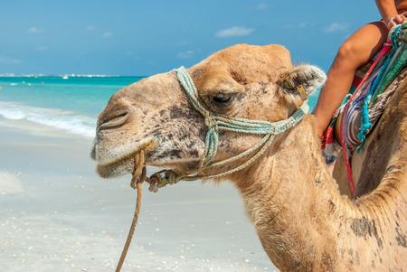 person sitzend: Person sitzt auf einem Saddled Kamel auf dem Strand Lizenzfreie Bilder