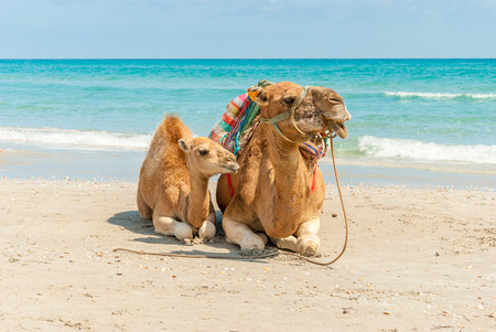 Two Camels Sitting on the Beach photo