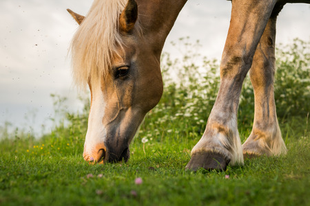 chew over: Brown Horse Grazing a Pasture in Setting Evening Sun