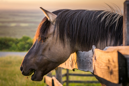 chew over: Grazing Horse behind the Fence at Sunset