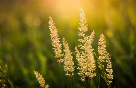 Sun Lit Tall Wild Grass Stalks Growing photo