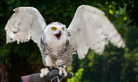 falconry: Snowy Owl with Yellow Eyes - Bubo Scandiacus with Blurred Dark Green Background Ready to Fly Sitting on Falconry Glove with Wings Spread Out Stock Photo
