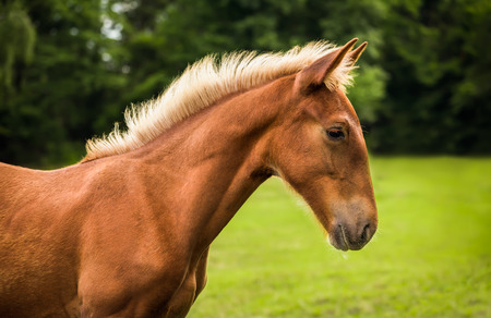 light brown horse: Beautiful Sad Brown Horse in Profile with Green Grass and Trees in Background