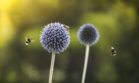 Flying Bumble Bees on Echinops or Globe Thistle. Green Blurry Background. Copy Space.