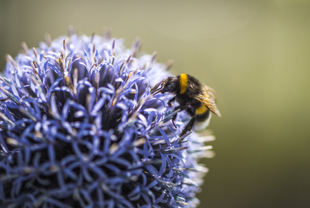 Bumble Bee on Echinops or Globe Thistle. Blurry Background. Copy Space.