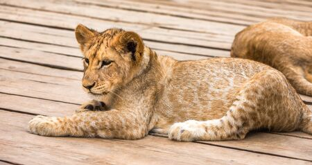 Adorable Young Lion Lying and Relaxing on Wooden Floor in ZOO