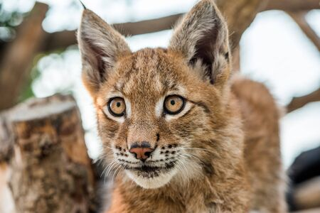 Portrait of Adorable Young Lynx Sitting and Watching