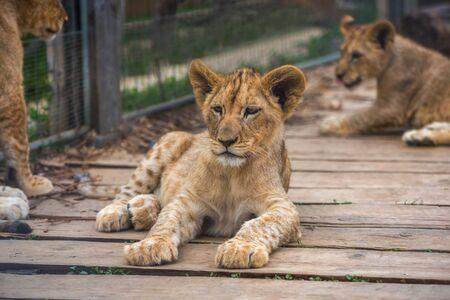 Adorabile giovane leone sdraiato e rilassante sul pavimento di legno in ZOO