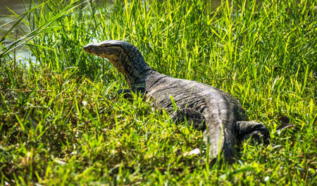 Large Monitor Lizard - Varane on the Grass near Riverbank