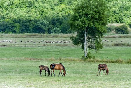 Istanbul, Turkey, 25 June 2006: Grazing Horses Stock Photo