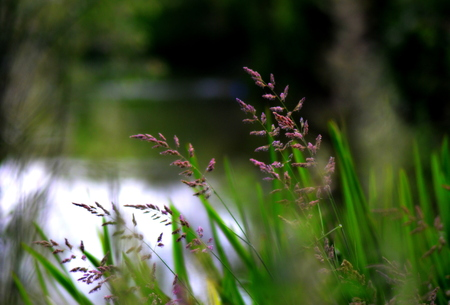 grasses: Riverside grasses