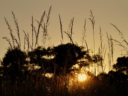 gramineas: Puesta de sol las hierbas