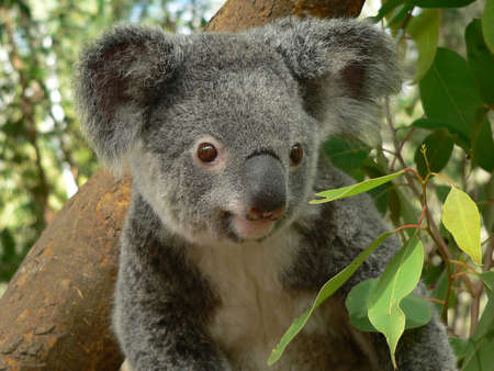 Australian koala bear in tree