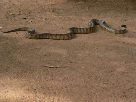 harm: Australian python snake Stock Photo
