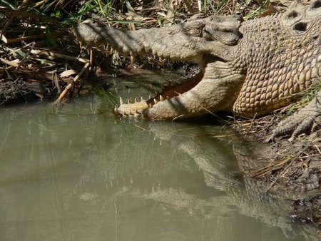 Australian saltwater crocodile Standard-Bild