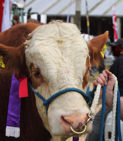 nosering: Bull at agricultural show