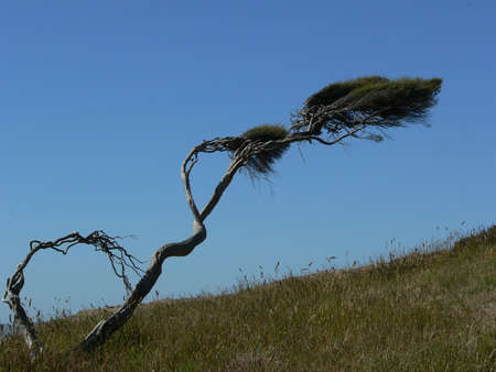 prevailing: Tree showing the effect of prevailing wind