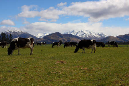 Cows grazing in farm, with snowy mountains in background Standard-Bild