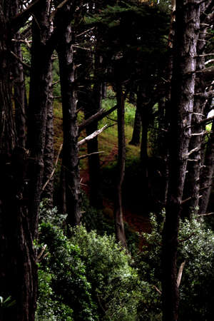 woodland  horror: Tall trees in deep forest Stock Photo