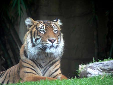 Tiger sitting upright Standard-Bild