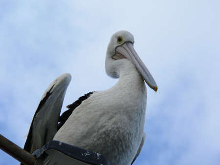 Pelican sitting on lamppost Standard-Bild
