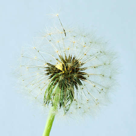 Dandelion seed about to blow away photo