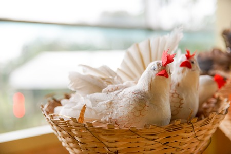 sitter: Artificial hens in the basket