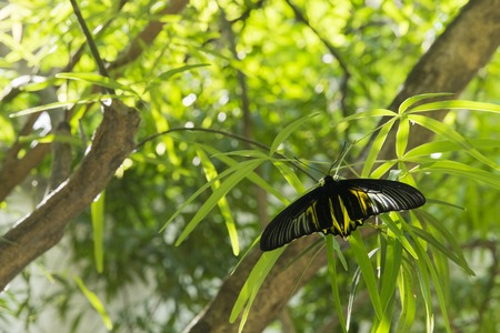 Golden birdwing butterfly in the park.