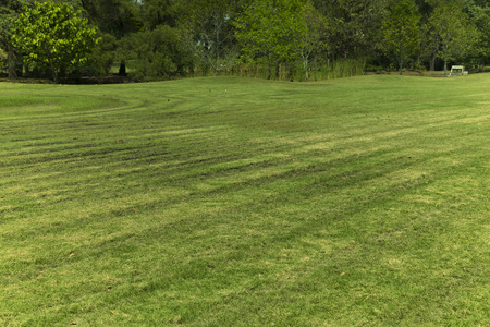 lawn grass: Line of grass cut in the field.