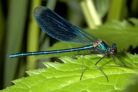 Turquoise damselfly (dragonfly) photo