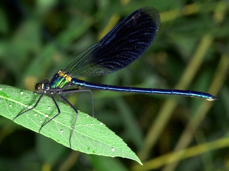wil: Turquoise damselfly (dragonfly)