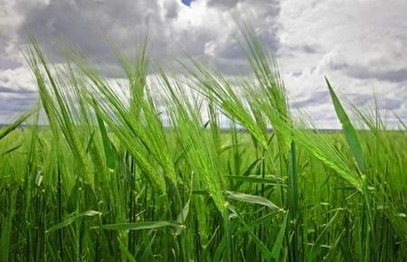 Green wheat field under an cloudy sky  photo