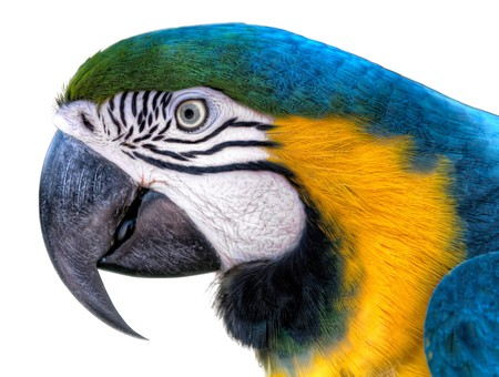 blue parrot: Colorful Ara Parrot