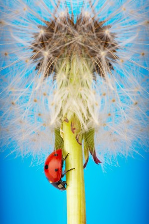 Isolate ladybird on dandelion with blue sky in the background photo