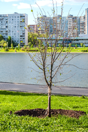 bilding: sapling of a young tree in city park at a pond